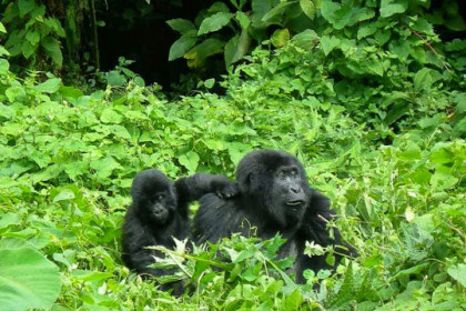 Gorilla Trek with African Jungle Adventures